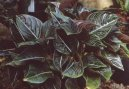 :  > Aglaonema (Aglaonema rotundum)
