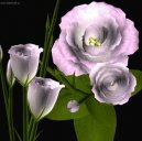 :  > Eustoma, jícnovka (Eustoma)